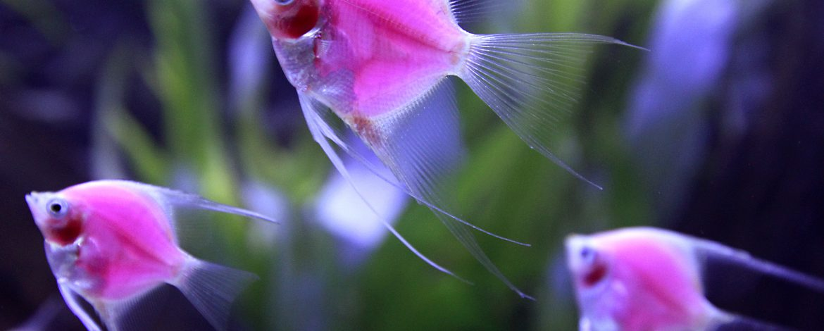 Genetically-engineered fish (Pterophyllum Scalare var.) glow in a tank during the 2014 Taiwan Aquarium Expo in Taipei September 12, 2014. The 2014 Taiwan Aquarium Expo runs from September 12-15 at the Taipei World Trade Center Nangang Exhibition Hall. REUTERS/Pichi Chuang (TAIWAN - Tags: SOCIETY ANIMALS TPX IMAGES OF THE DAY) - RTR45Y82